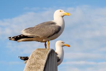 Sweat seagull couple 3