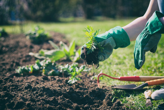woman with green gloves planted in a bed of small marigold, gardening in a springtime