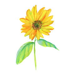 Watercolor sunflower. Hand drawn yellow flower on white background. Painting isolated illustration