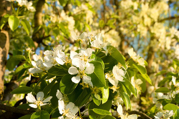 Flowering trees, pear and plum in the spring during a sunny day