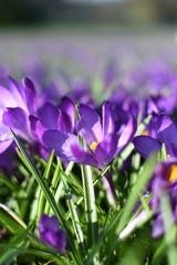 Foto op Textielframe Krokussen Meadow of blooming spring flowers crocus growing in wildlife
