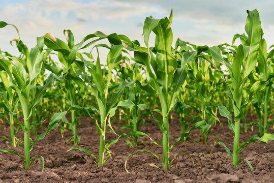 field of fresh young corn stalks cornfield