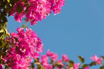 Fotomurales - Frame of pink bougainvillea flowers on blue sky background.