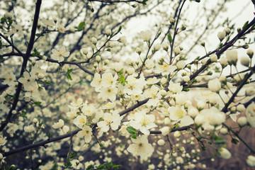 Flowering plum branches