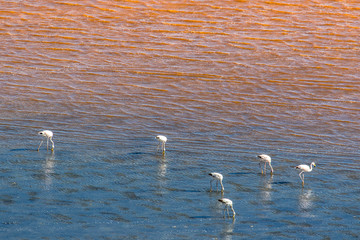 Flamingos in red-blue water
