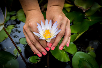 White water lily held by young woman's hands