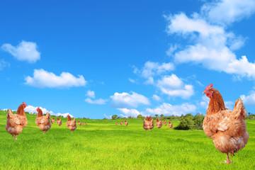 Galline nel campo