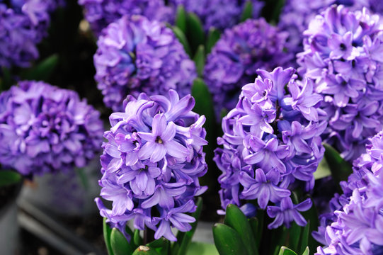 close up on purple hyacinth flower in spring