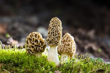 Magic Morels mushroom