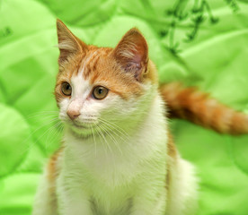 Redhead with white kitten on a green background