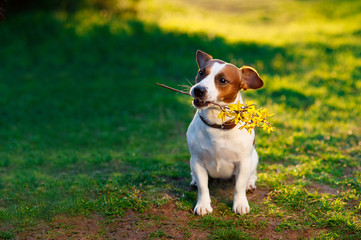 Dog Jack Russell Terrier sitting on the grass with a branch of yellow flowers