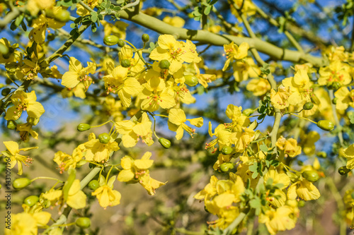 Desert Tree With Yellow Flowers Blooming During Spring Stock Photo