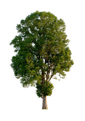 isolated big tree on white background with clipping path.