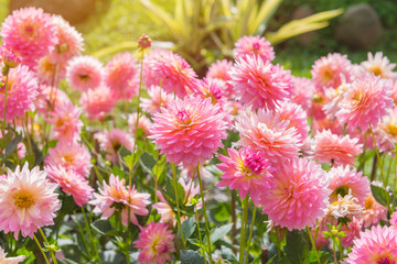 Fotobehang Dahlia colorful of dahlia pink flower in Beautiful garden