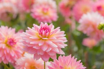 Poster de jardin Dahlia colorful of dahlia pink flower in Beautiful garden