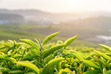 Closeup view of young bright green tea leaves at sunset
