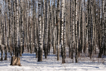 Early spring in the birch tree forest