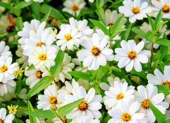 White zinnia angustifolia flowers