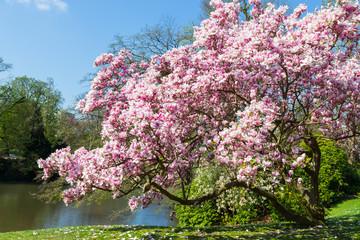 Magnolie (Magnolia × soulangeana) im Kurpark Wiesbaden. April 2017.