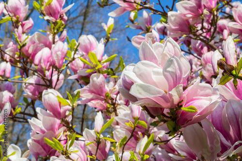 tulpen magnolie magnolia soulangeana zdj stockowych i obraz w royalty free w fotolia. Black Bedroom Furniture Sets. Home Design Ideas