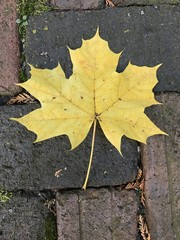 Brick maple leaf