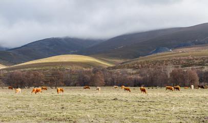 Vacas pastando en la pradera. La Cabrera, Truchas, León, España.