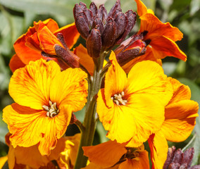 Flores de Alhelí. Erysimum cheiri.