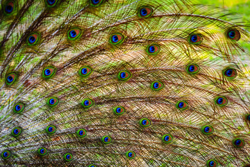 The wings and feathers of the male peacock.
