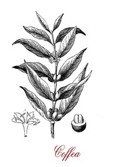 Vintage engraving of Coffea (coffee plant)  botanical morphology:  leaves, flowers and berries containing 2 coffee beans each.