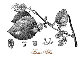 Vintage engraving of white mulberry, tree with  and sweet white fruits cultivated to feed the silkworms for commercial production of silk. Used in traditional medicine and in landscaping.