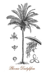 Vintage engraving of date palm,flowering plant cultivated for its edible sweet fruit
