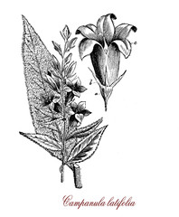Vintage engraving of campanula latifolia or giant bellflower,perennial herbaceous plant with oval lanceolate leaves, bell shaped dark blue or violet flowers