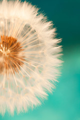 Photo sur Toile Pissenlit white dandelion flower with seeds in springtime in blue turquoise abstract backgrouds