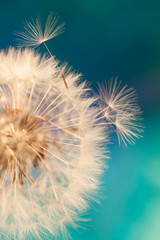Photo sur Plexiglas Pissenlit white dandelion flower with seeds in springtime in blue turquoise abstract backgrouds