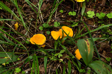 Chanterelle growing in the summer forest