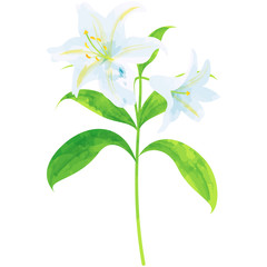lily - birth flower vector illustration in watercolor paint textures