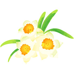 narcissus - birth flower vector illustration in watercolor paint textures