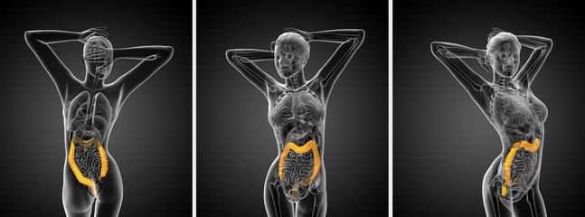 3d rendering human digestive system large intestine