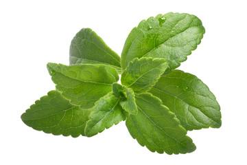 Sweetleaf, sugar leaf or Stevia rebaudiana, paths