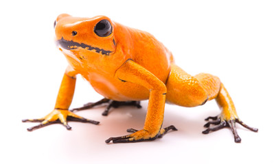 poison dart frog, Phyllobates terribilis orange. Most poisonous animal from the Amazon rain forest in Colombia, a dangerous amphibian with warning colors. Isolated on white.
