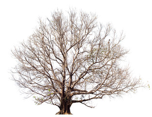 Dry tree without large leaves,Bodhi Tree on white.Tree isolated botanical Tree