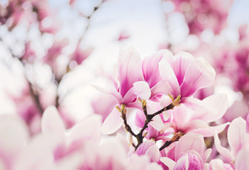 Blooming pink magnolia dream