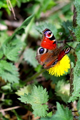 Peacock butterfly (inachis io) on dandelion among nettles in the garden.