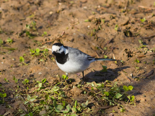 White wagtail, Motacilla alba, close-up portrait on ground with spring grass, selective focus, shallow DOF