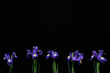 Violet flowers iris isolated on a black background with space for text. horizontal, flat lay
