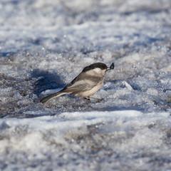 Titmouse on the snow