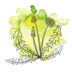dandelion at watercolor background
