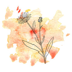 flower of calendula at watercolor background