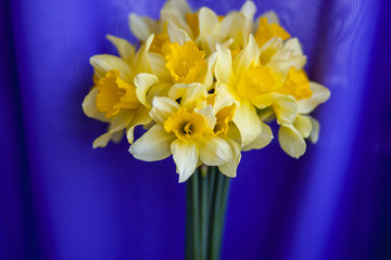 The beautiful yellow daffodils on a purple background