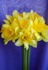Nice yellow daffodils on a purple background